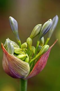 First buds of an agapanthus lily of the Nile flower opening up.