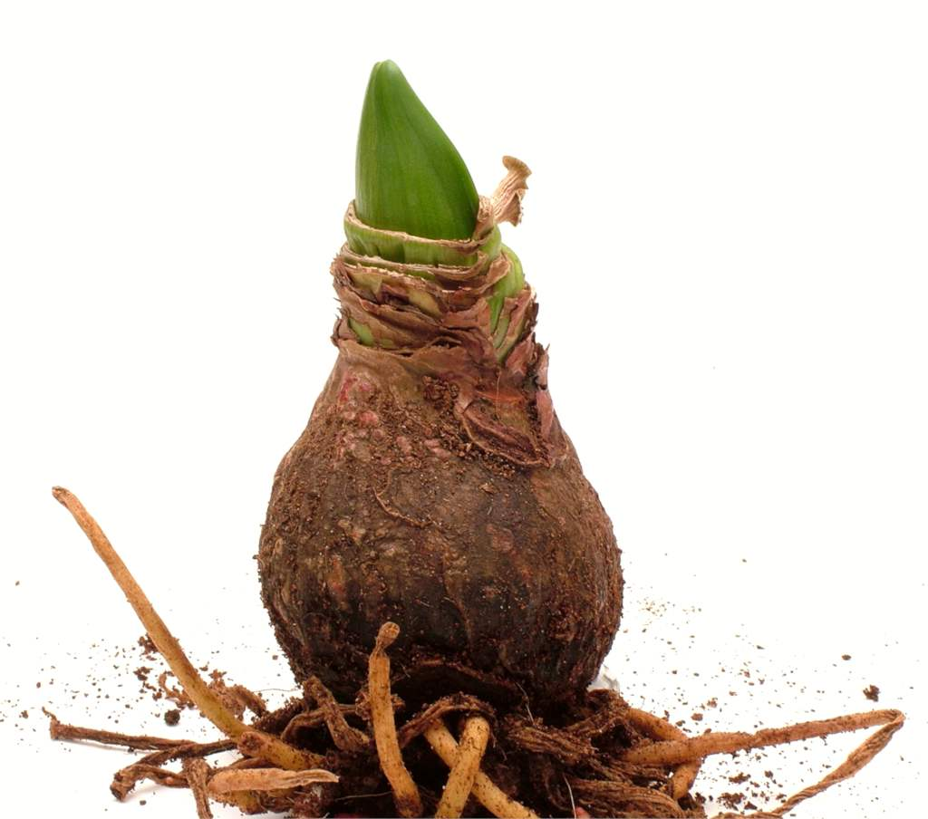 A bare amaryllis bulb unearthed with a small pointed leaf sprouting and tangled roots under the bulb.