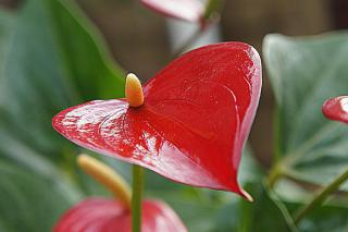 Shiny red anthurium flower.