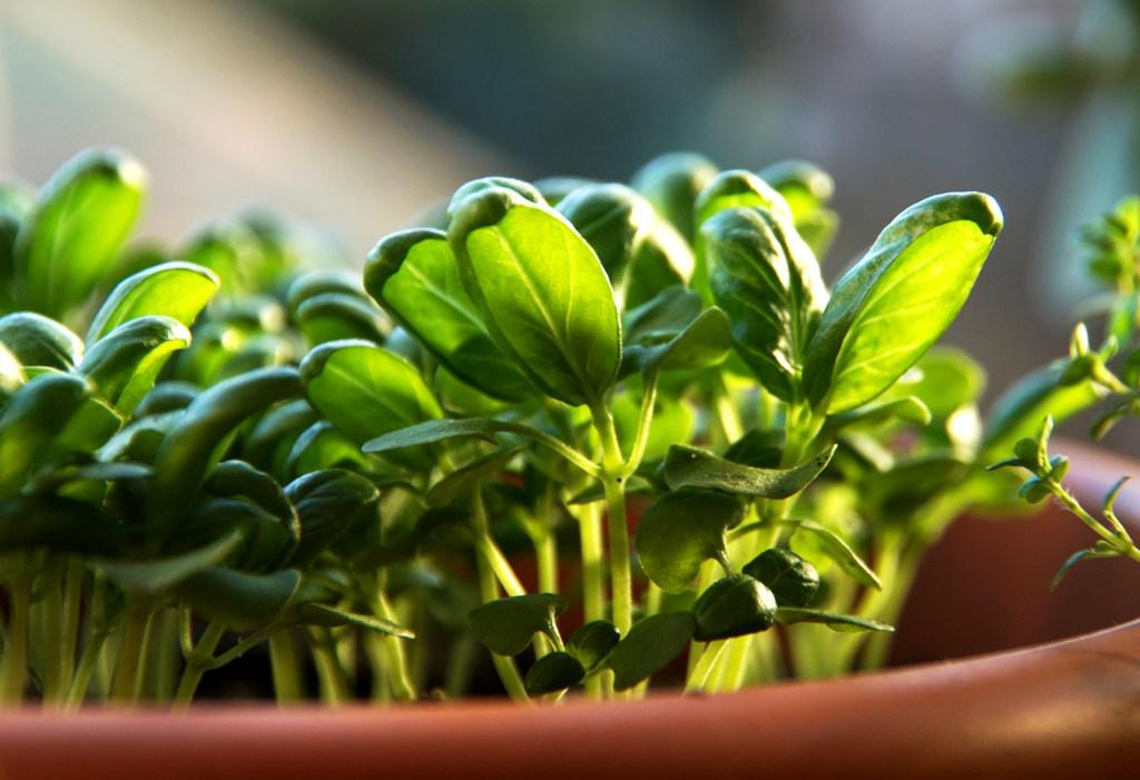 Growing basil from seedlings in a pot.
