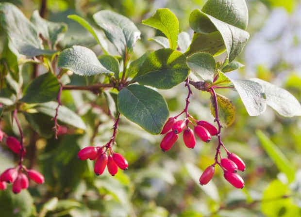 Berberis, ideal for defensive hedges