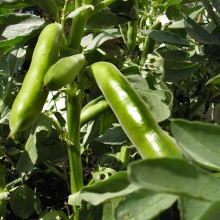 Broad beans growing on the bush
