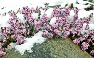 Erica heather flowers peeking out from a mantle of snow.