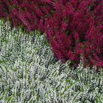 Erica in two hues, white and dark pink, covering the ground with heather.