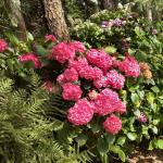A hydrangea shrub will bloom well even under full shade.