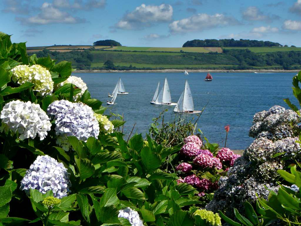 Hydrangea growing along the coast with sailboats in the background.