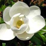 White magnolia flower.