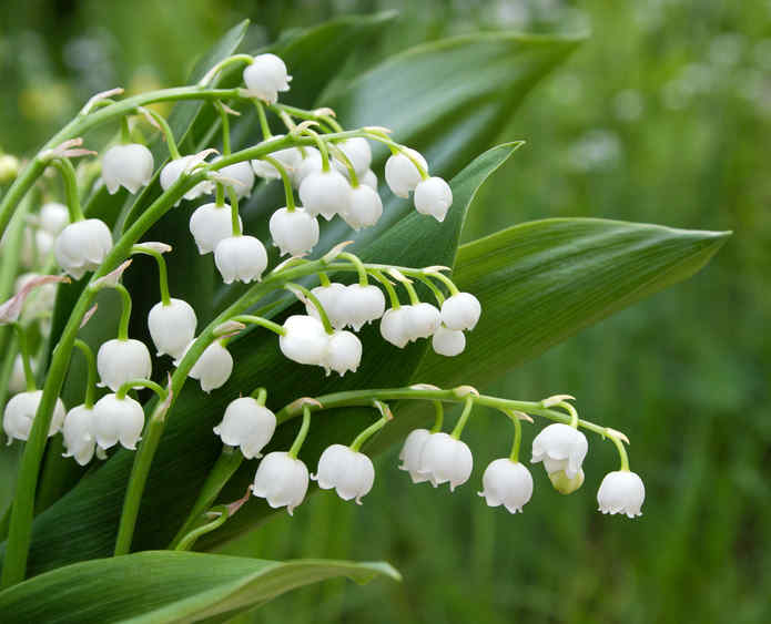 Lily of the valley, from planting to blooming