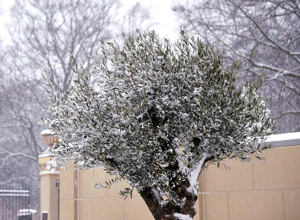 Winterizing Your Olive Trees