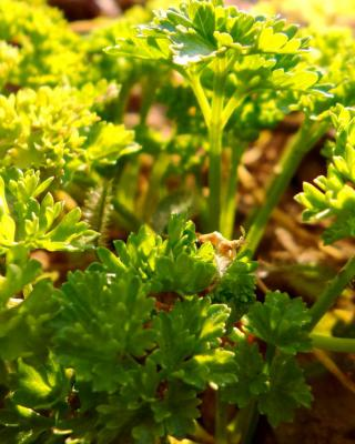 Parsley, flat-leafed or curly-leafed, it is everywhere!