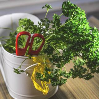 Harvesting parsley with scissors