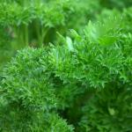 Parsley, a spice that grows in the garden.