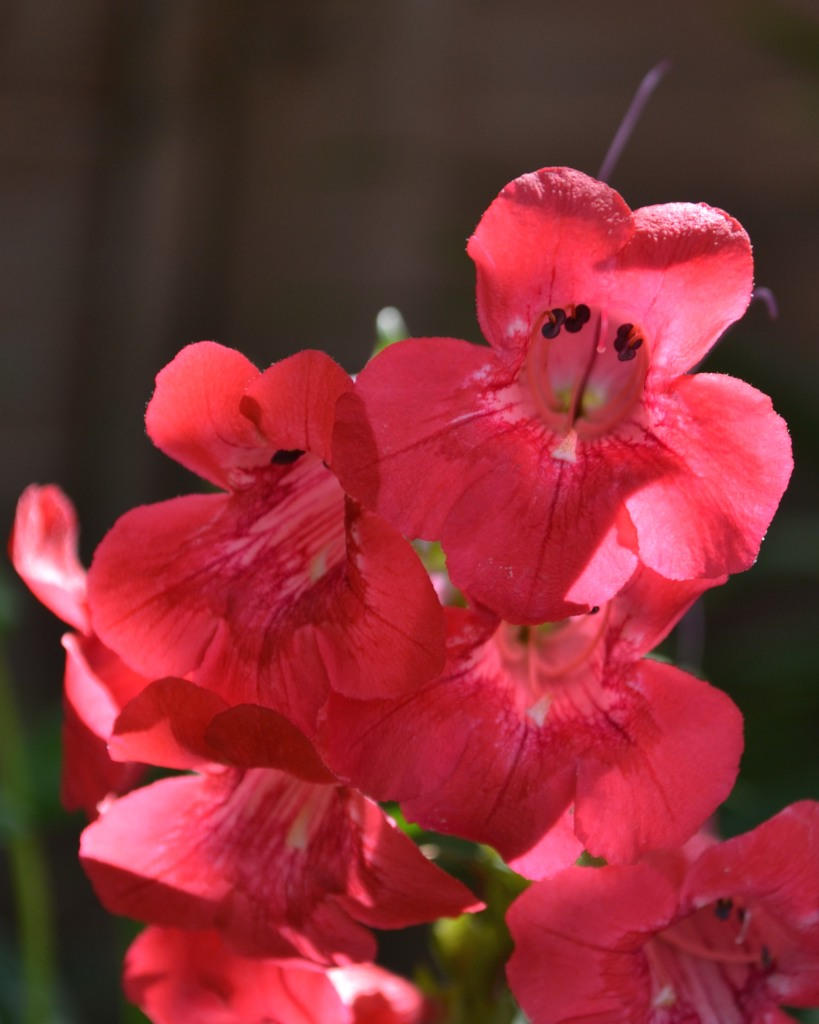 Red trumpet penstemon flower bloom close up.