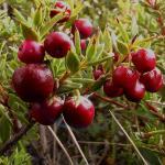 Pernettya berries growing on a branch.