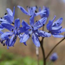 Squills, forest hyacinths