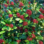 Skimmia flowers range from pale pink to red.