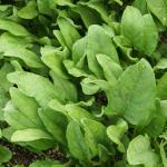 Healthy spinach leaves impart their nutrients to increase our health.