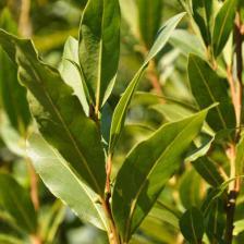 Bay laurel, a very aromatic shrub