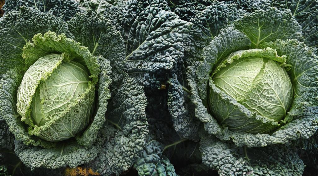 Two heads of savoy cabbage growing in a vegetable patch.