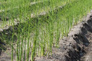 Asparagus plants growing in a field.