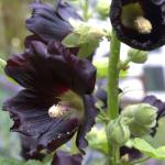 A tall upright flowered stem of a black hollyhock flower.
