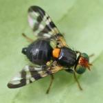 Adult cherry fruit fly on leaf