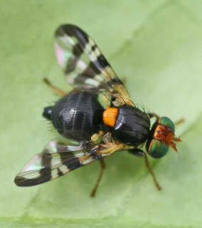 Adult cherry fruit fly on leaf