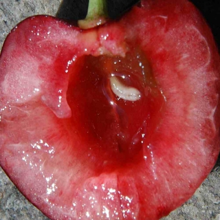 Open cherry with cherry fruit fly maggot inside