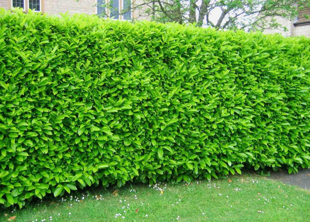 Bright green, opaque laurel hedge.