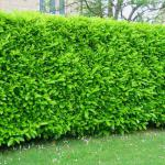 Bright green, opaque laurel hedge.