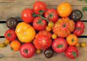 lots of different easy to grow tomatoes on a plank of wood