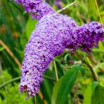 Hedges grown from buddleja will bear amazing amounts of flowers.