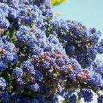 A California lilac hedge covered in blue flowers.