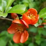 Red-orange escallonia flowers on a branch from a flowering hedge.