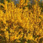 Flower hedge grown from forsythia flower shrubs.
