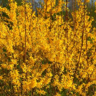 Flower hedge grown from forsythia flower shrubs.