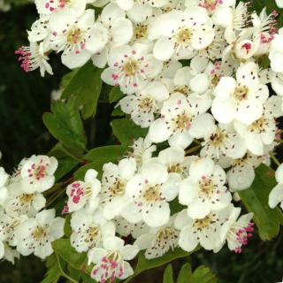 Hedges grown from Hawthorn bear white flowers, then red berries.