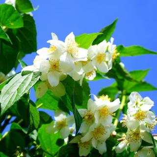 Flower hedge grown from mock-orange, with white flowers.