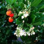 Strawberry tree grown as a hedge with both fruits and flowers at the same time.