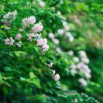 Flowering hedge grown from pale pink-flowered weigela shrubs.