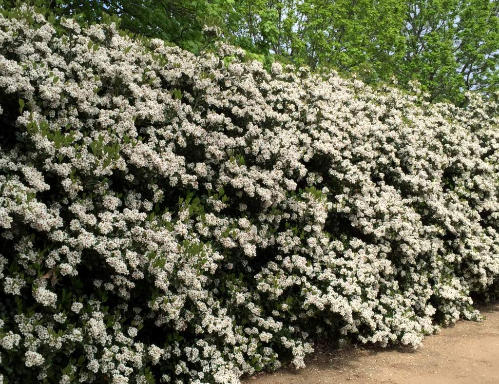 Setting up a flowered hedge