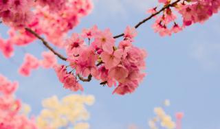 Japanese cherry blossom, pink againt blue sky.