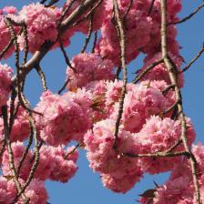 Japanese cherry tree, simply beautiful