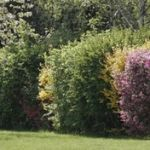 a mixed hedge with flower and edible shrubs