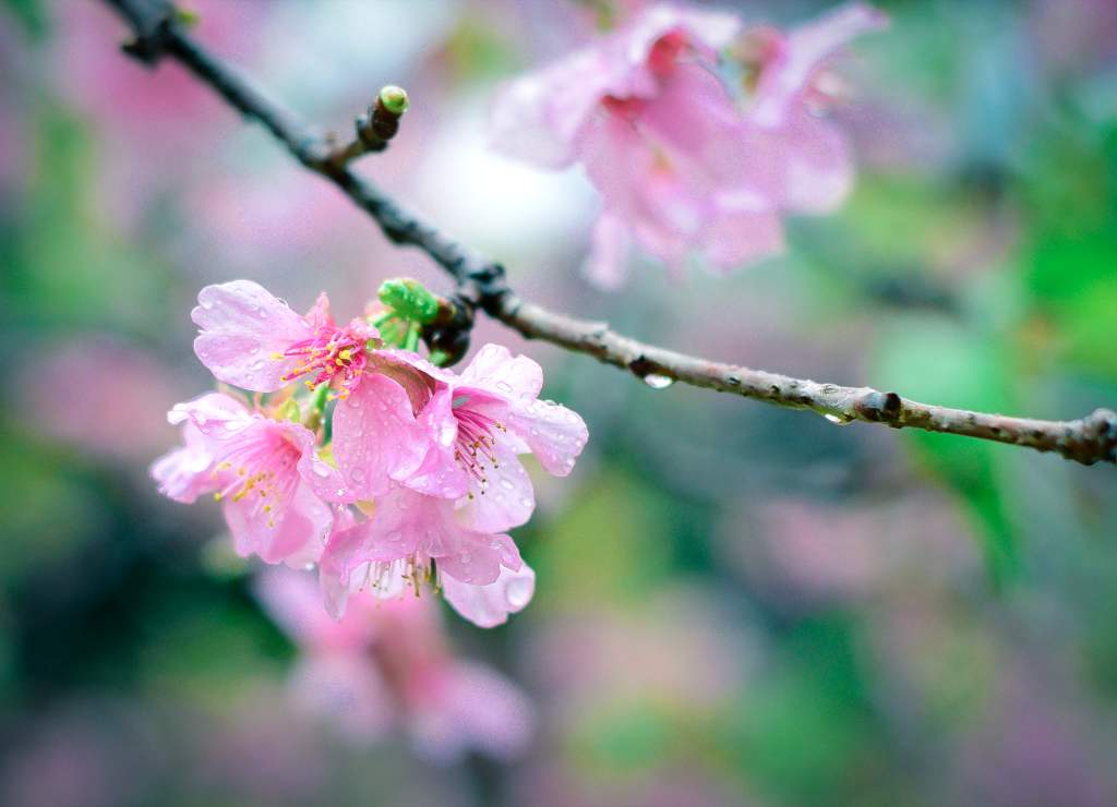 Ornamental Cherry Tree Advice On Planting Pruning And Care