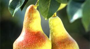 Luscious green red ripe pear tree fruits on branch.
