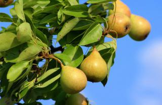Branch of a pear tree with four pears on it.