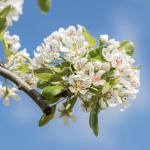 Flower bunch on a pear tree branch.