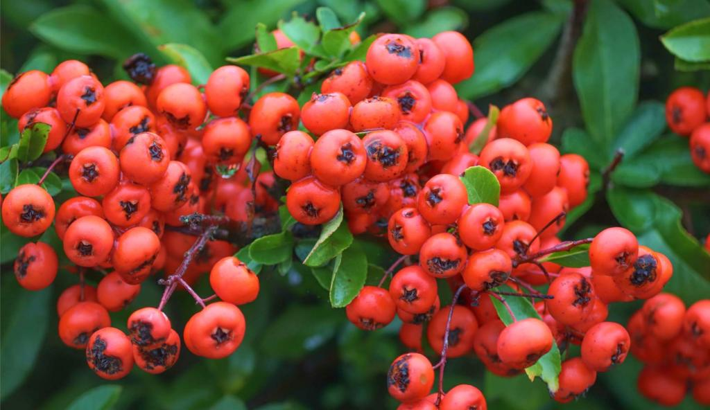 Berries from the Pyracantha Firethorn shrub.