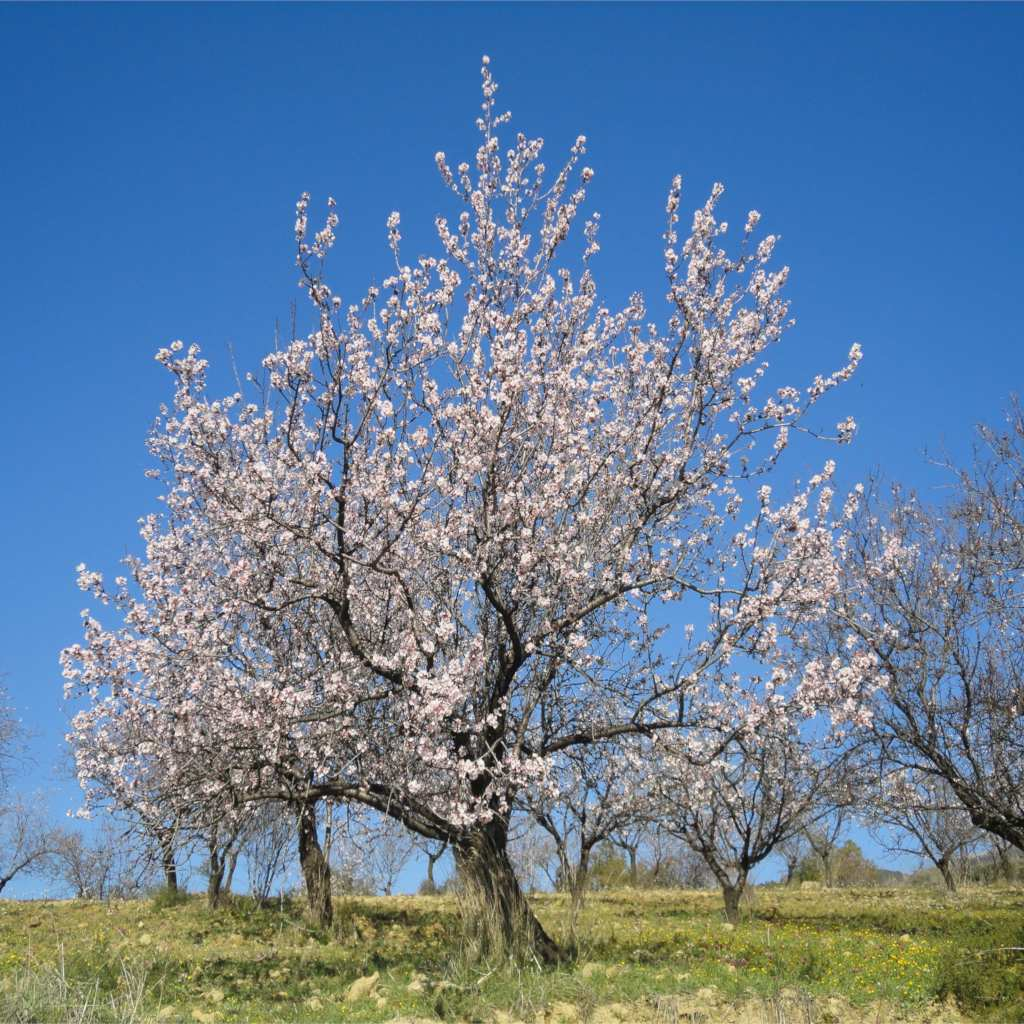 Blooming almond tree in green field with blue sky.